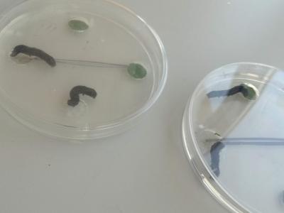 05 Placa Petri con ensayo de elección con larvas de Spodoptera littoralis