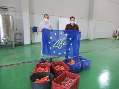 Fruta recogida de los ensayos en Finca Sinyent (mayo 2021) / Fruit harvested from trials at Finca Sinyent (May 2021)